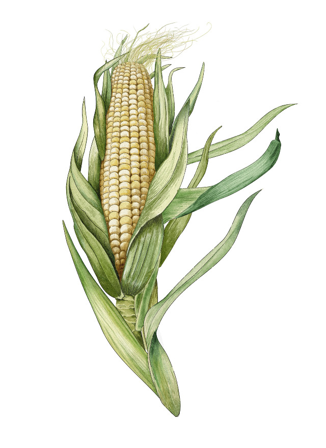 burnt corn black dating site Absolute and relative dating c14 and p40 methods (burnt corn cobs or igneous rocks) as well as things that cannot be dated using these methods (coins.